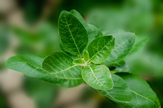 ashwagandha ja kilpirauhasen vajaatoiminta